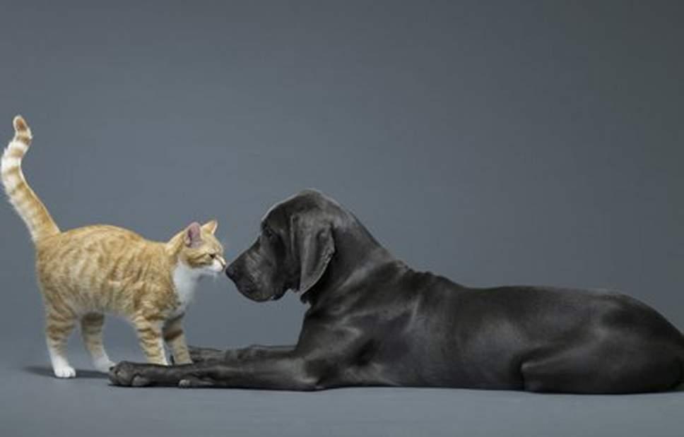Собака жертвует кровью, ради спасения жизни кошки, съевшей крысиный яд